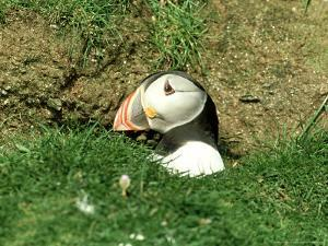 Puffin, Peering out of Hole, Shetland by David Tipling