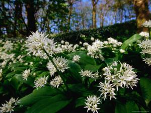 Ramsons (Wild Garlic) at Stackpole Estate in May, Pembrokeshire Coast National Park, United Kingdom by David Tipling