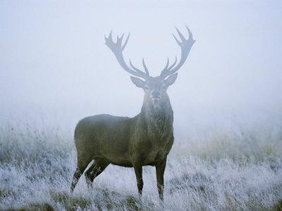 Red Deer (Cervus Elaphus) Stag at Dawn During Rut in September, UK, Europe