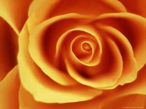 Rose by David Tipling