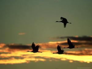 Sandhill Cranes at Dusk, New Mexico by David Tipling