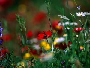 Wildflowers Growing in Olive Grove, Greece by David Tipling