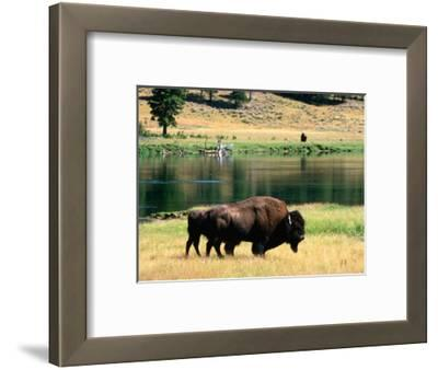 Pair of American Bison Beside Yellowstone River, Hayden Valley, Yellowstone National Park, Wyoming
