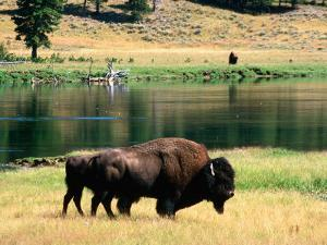 Pair of American Bison Beside Yellowstone River, Hayden Valley, Yellowstone National Park, Wyoming by David Tomlinson