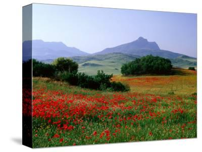 Rolling Hills with Poppies Near Olvera