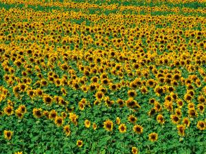 Sunflower Field, Tuscany, Italy by David Tomlinson