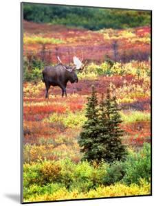 Bull Moose and Autumn Tundra, Denali National Park, Alaska, USA by David W. Kelley