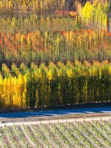 Autumn in Mt. Difficulty Vineyard, Central Otago, New Zealand by David Wall