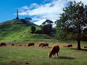 Cows, One Tree Hill, Auckland by David Wall