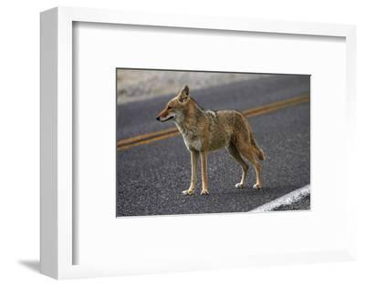 Coyote at Badwater Basin, Death Valley NP, Mojave Desert, California