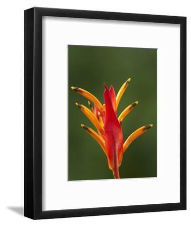 False Bird-Of-Paradise Flower (Heliconia Psittacorum), Nadi, Viti Levu, Fiji, South Pacific