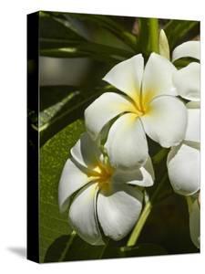 Frangipani Flowers (Plumeria), Nadi, Viti Levu, Fiji, South Pacific by David Wall