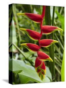 Heliconia Flower, Kula Eco Park, Coral Coast, Viti Levu, Fiji, South Pacific by David Wall