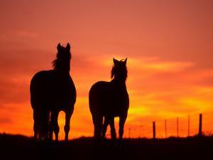 Horses at Sunset near Ranfurly, Maniototo, Central Otago by David Wall