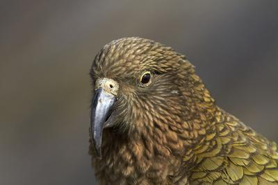 Kea, Mount Hutt, Canterbury, South Island, New Zealand
