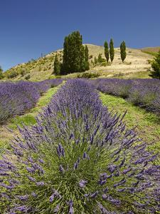 Lavender Farm, Near Cromwell, Central Otago, South Island, New Zealand by David Wall