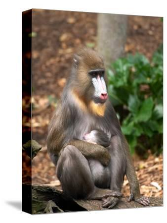 Mandrill Mother and Baby, Australia
