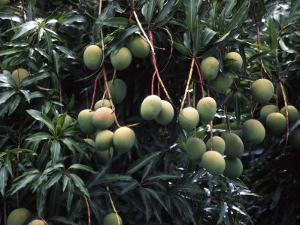 Mangoes, Fiji by David Wall