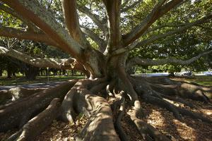 Moreton Fig Tree, Auckland Domain, Auckland, North Island, New Zealand by David Wall