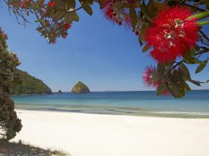 Pohutukawa Tree in Bloom and New Chums Beach, Coromandel Peninsula, North Island, New Zealand by David Wall