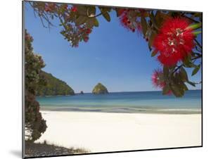 Pohutukawa Tree in Bloom and New Chums Beach, Coromandel Peninsula, North Island, New Zealand by David Wall