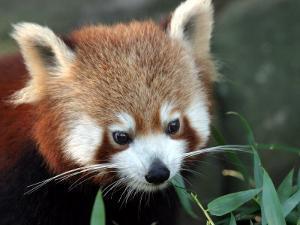 Red Panda, Taronga Zoo, Sydney, Australia by David Wall