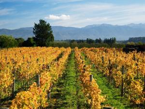 Schubert Vineyard, Martinborough, Wairarapa, North Island, New Zealand by David Wall
