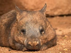 Southern Hairy-Nosed Wombat, Australia by David Wall