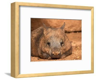 Southern Hairy-Nosed Wombat, Australia