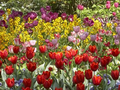 Tulips in St James's Park, London, England, United Kingdom by David Wall