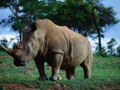 White Rhino, Cecil Kop Nature Reserve, Zimbabwe by David Wall