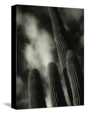 Saguaro Cactus, Kofa Nwa, AZ
