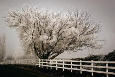 Frosted Tree and Fence by David Winston