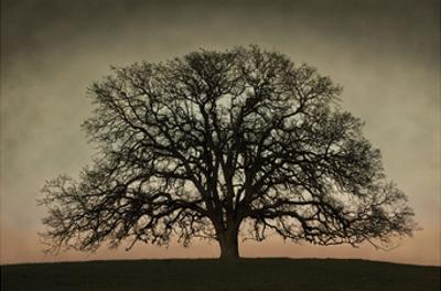 Majestic Oak by David Winston