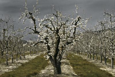 Pear Blossoms by David Winston