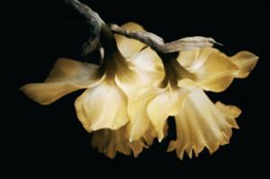 Sunning Daffodils by David Winston