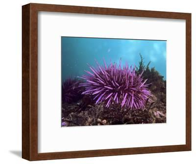 Purple Sea Urchin, Strongylocentrotus Purpuratus, Pacific Coast of North America
