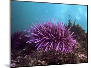 sea urchin decor.htm beautiful sea urchin wood mount artwork for sale  posters and  beautiful sea urchin wood mount artwork