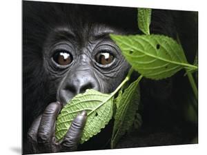 Baby Mountain Gorilla, North West Rwanda by David Yarrow Photography
