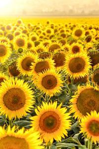 Sunflower Field at Sunset by Davizro Photography
