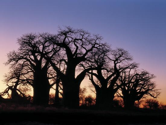 Dawn Sky Silhouettes from Grove of Ancient Baobab Trees, known as Baines' Baobabs, Botswana-Nigel Pavitt-Photographic Print