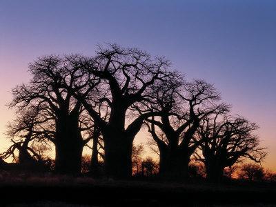 https://imgc.artprintimages.com/img/print/dawn-sky-silhouettes-from-grove-of-ancient-baobab-trees-known-as-baines-baobabs-botswana_u-l-p8zajz0.jpg?p=0