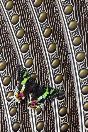 https://imgc.artprintimages.com/img/print/day-flying-moth-madagascan-sunset-moth-on-argus-pheasant-design_u-l-pyplm40.jpg?p=0