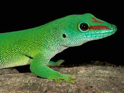 Day Gecko, Ankarana Special Reserve, Madagascar-Pete Oxford-Photographic Print
