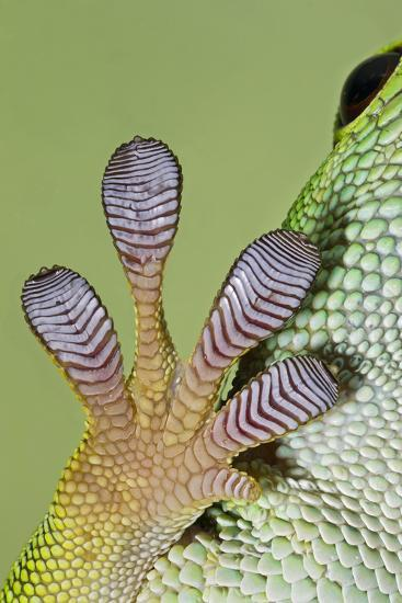 Day Gecko Close Up of Foot--Photographic Print