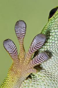 Day Gecko Close Up of Foot