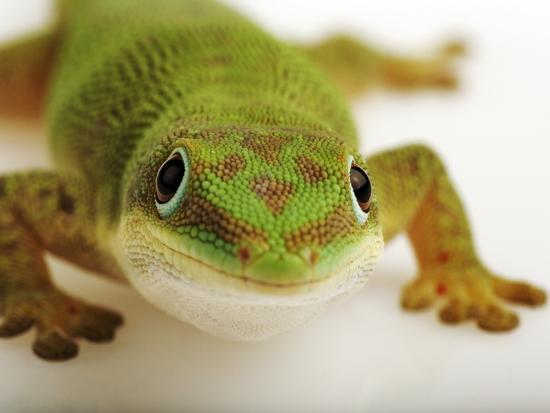 Day Gecko-Martin Harvey-Photographic Print
