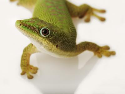 Day Gecko-Martin Harvey-Photographic Print