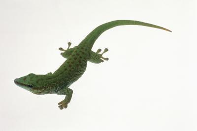 Day Gecko-DLILLC-Photographic Print