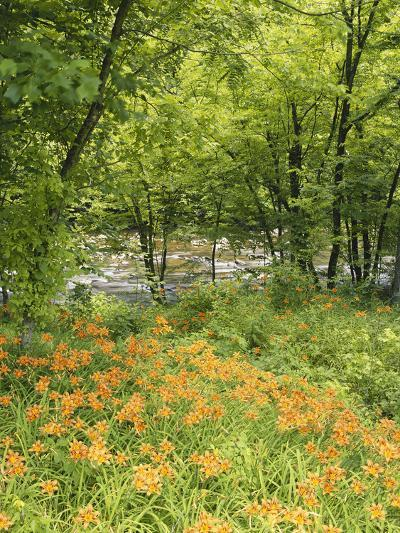 Day Lily Flowers Growing Along Little Pigeon River, Great Smoky Mountains National Park, Tennessee-Adam Jones-Photographic Print